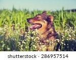 Dog Walking In The Meadow