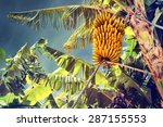 bunch of ripe bananas on tree.... | Shutterstock . vector #287155553