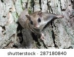 A Flying Squirrel Clings To Th...
