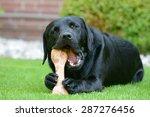 Stock photo black labrador lying on meadow and eat bone 287276456
