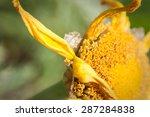 Death Pollen Flower. Close Up...