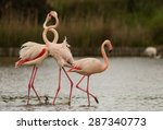 Two Males Of Greater Flamingo ...