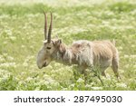 Adult Male Saiga Stands In The...