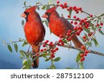 Northern Cardinals On Yaupon...