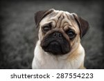 Portrait Of Beautiful Male Pug...