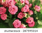 Stock photo pale pink shrub roses 287595314