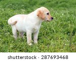 a nice yellow labrador puppy in ... | Shutterstock . vector #287693468