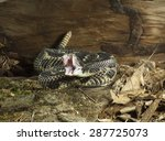 Timber Rattlesnake, Crotalis horridus, coiled and ready to strike, showing fangs, Northeastern United States, Controlled situation