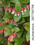Small photo of Pink white blossoms of salal ( Gaultheria shallon ), Otter Crest, Oregon Coast