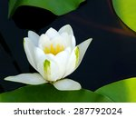 Water Lilly On The Water Surface