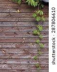 clambering plant parthenocissus ... | Shutterstock . vector #287806610