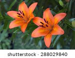 Orange Daylily Blooming In A...