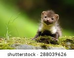 Stock photo young marten 288039626