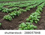 Potato Field With Green Shoots...