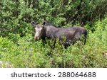 Small photo of Female moose (Alces americanus) eats willow twigs. Mountain, region, Utah