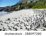 African Penguins In Boulders...