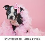 Stock photo super cute boston terrier puppy wearing a boa and a little pink bow on a pink background 288114488