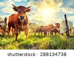 herd of young calves looking at ... | Shutterstock . vector #288134738