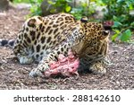 Amur Leopard Eating Meat And...
