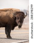 A Male Bison Stops In The...