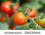 Mini Tomato Field
