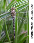 Small photo of Blue Hawker Dragonfly Close-Up