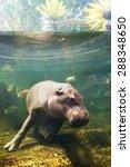 Pygmy Hippos Underwater