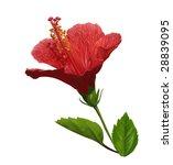 hibiscus flower  pictured ... | Shutterstock . vector #28839095