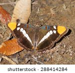 Small photo of California Sister (Adelpha californica) Perching on the ground. Santa Cruz County, California, USA.