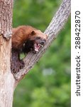 Small photo of wolverine growls at intruders
