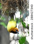 Small photo of Black-necked weaver (Ploceus nigricollis) hanging up side down from its nest