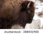 Profile Of A Bison Scratching...
