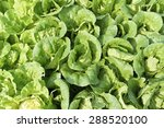 growth of cos lettuce  romaine... | Shutterstock . vector #288520100