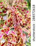 Small photo of This beautiful coleus is getting ready to blossom