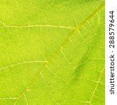 Small photo of Texture of green leaf (Vitaceae)