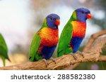 Two Rainbow Lorikeet The Preen...