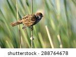 The Eurasian tree sparrow (Passer montanus).