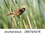 The Eurasian Tree Sparrow ...
