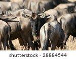 Migrating Wildebeest Looking...