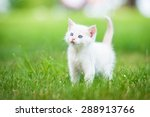Stock photo adorable white kitten with blue eyes standing on the lawn 288913766