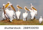 pelicans at lake naivasha in... | Shutterstock . vector #288933050