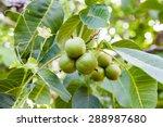 Green  Unripe Walnuts With...