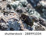 Small photo of Bradyporus dasypus in natural background