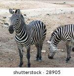 zebra at the zoo in guadalajara ... | Shutterstock . vector #28905