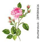 Antique Botanical Drawing....
