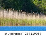 Reeds In The Water Edge At The...