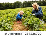 Picking Strawberries Child And...
