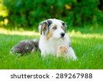 Stock photo australian shepherd puppy lying with small kitten on green grass 289267988