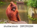 orangutan in the singapore zoo... | Shutterstock . vector #289290284