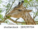 Giraffe Eat The Leaf.